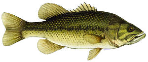 Wide Mouth Bass