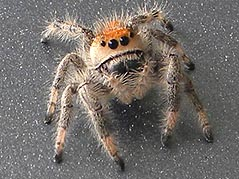 The Regal Jumping Spider